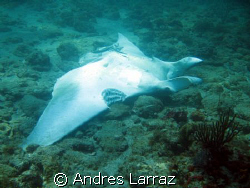 MANTA RAY W/BITES FROM BULL SHARK by Andres Larraz 